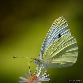 """Petit papillon """"Piéride du chou"""""""