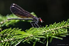 Libellule avec sa proie, un moustique