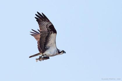 Balbuzard ou Aigle pêcheur