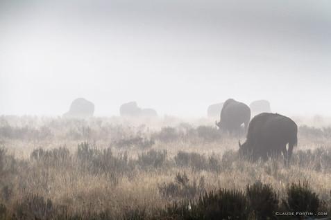 Yellowstone un paradis pour les bisons