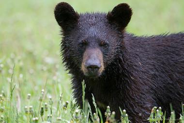 Ours noir / Gaspésie