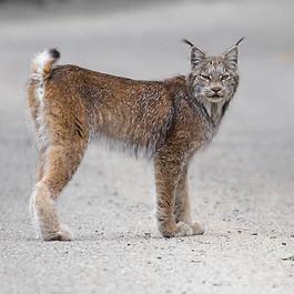 Lynx en Gaspésie