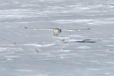 Harfang des neiges dans la région de Québec