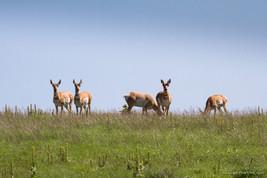 Antilope d'amérique / Utah, US