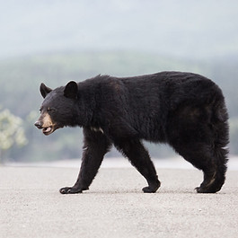 Ours noir en Gaspésie