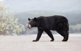 Ours noir, Gaspésie