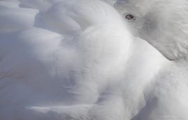 Oie des neiges au repos