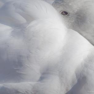 Oie blanche au repos