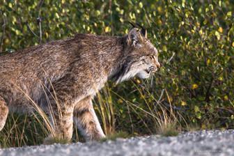 Lynx, Baie James à la hauteur de la communauté cri de Wemindji