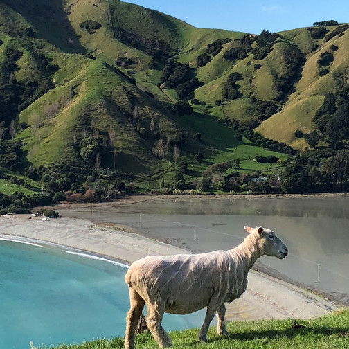 where can you find sheep in new zealand, where do you find cows in new zealand