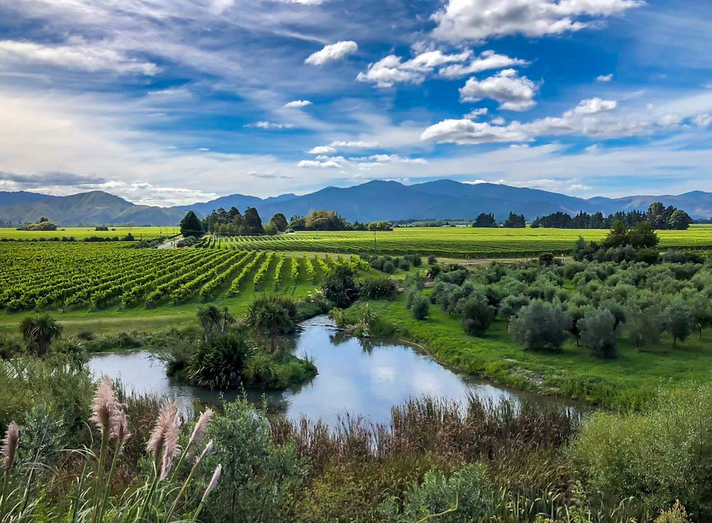 View over green vineyards olive trees and a pond in Marlborough New Zealand looking towards the Richmond Ranges on a sunny day in harvest season with blue sky and white clouds, blenheim south island, travel new zealand, beautiful destinations, the coterie winery