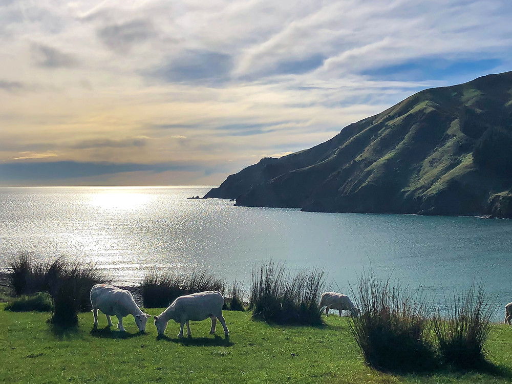 overlooking cable bay in south island new zealand with sheep and pastel skies, beautiful new zealand, kia ora, aotearoa