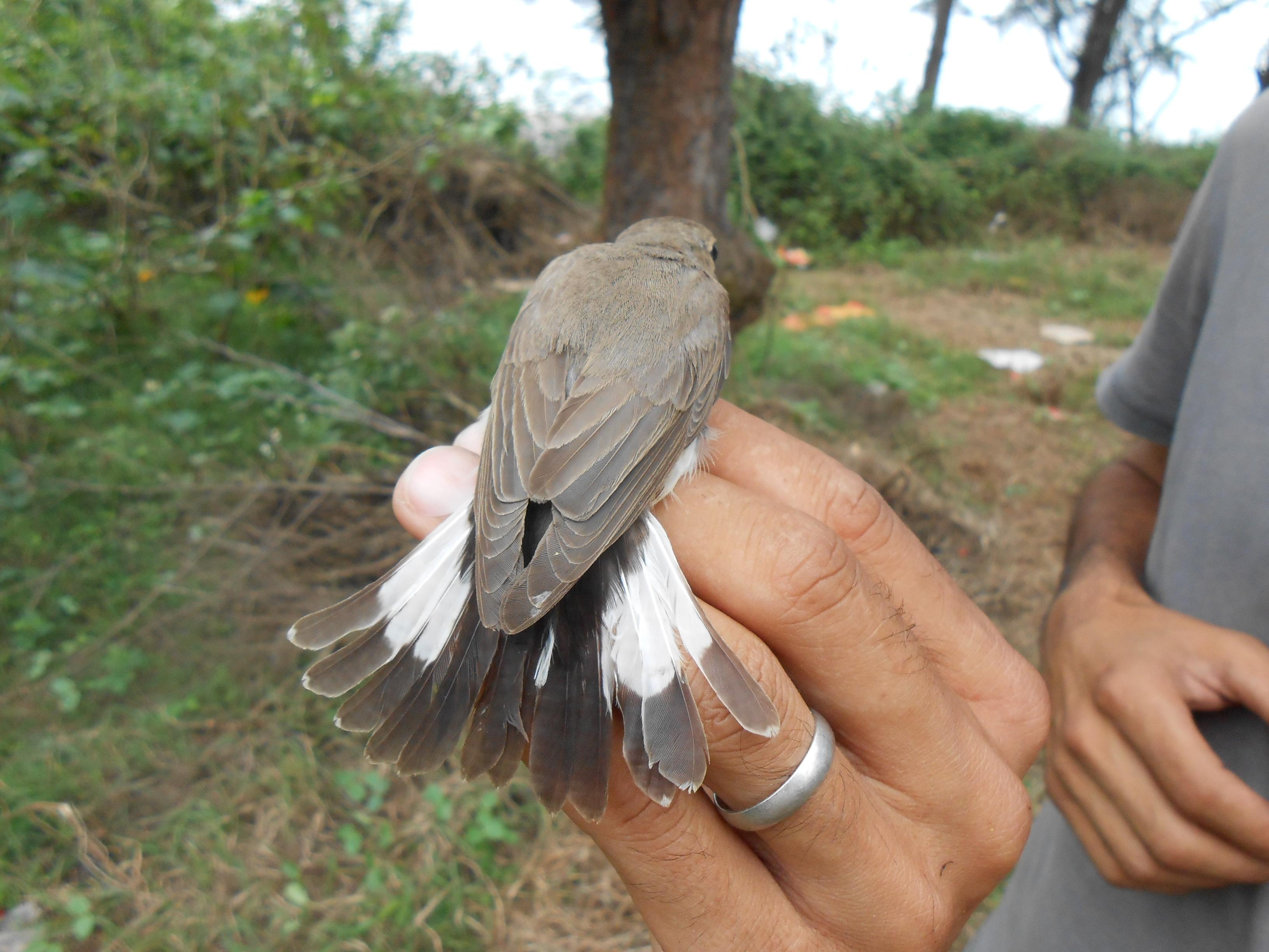 Gobemouche de la taïga (femelle)