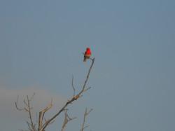 Foudi rouge (mâle)