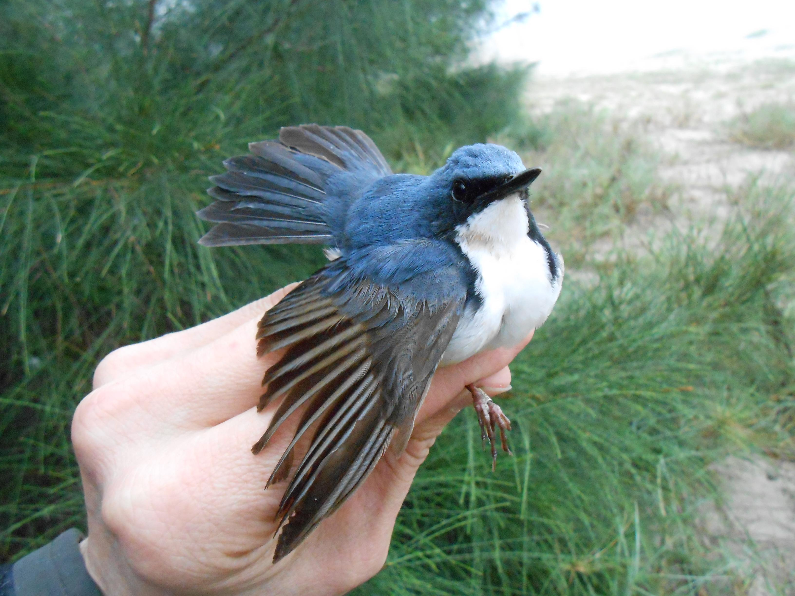 Rossignol bleu (mâle)