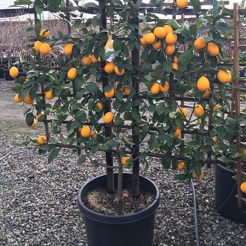 Espalier Trained Meyer Lemon Tree : 15 GAL