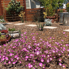 These Clarkia Speciosa are Califirnia natives that were showstoppers last summer! I can't wait to plant more!