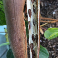 Chilean Jasmine seeds emerge from long pods resembling vanilla beans. We save the seeds from the healthiest parent plants.
