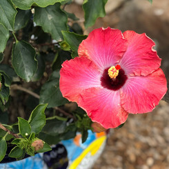 This Rum Runner Hibiscus does well in planters, full sun and is a prolific bloomer.