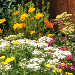 We love utilizing native plants that tolerate our adobe clay soil and creating pollinator friendly environments.