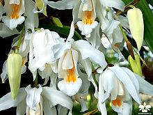Coelogyne cristata Orchideengarten Karge