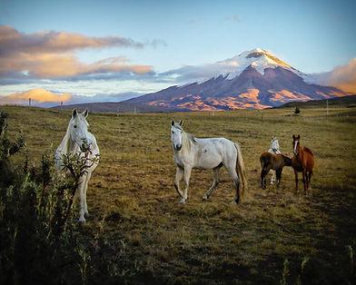 Cotopaxi_horses_hlm.jpg
