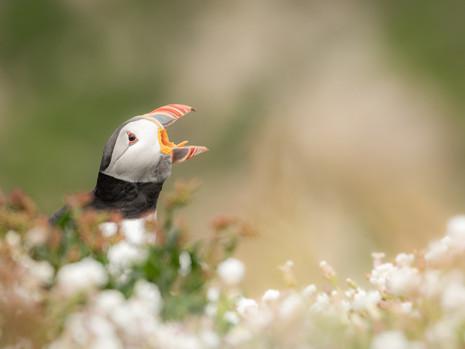 puffin calling