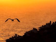 Basstölpel - Sonnenuntergang