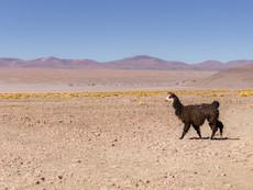 Atacama Lama