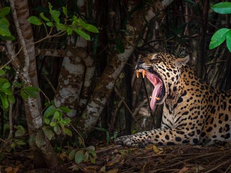 gähnender Jaguar