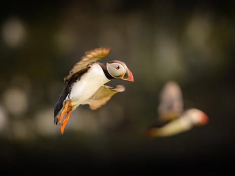 papageientaucher - im Flug