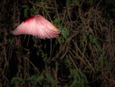rosa Löffler im Flug