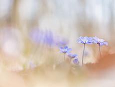 Buschwindröschen Leberblümchen