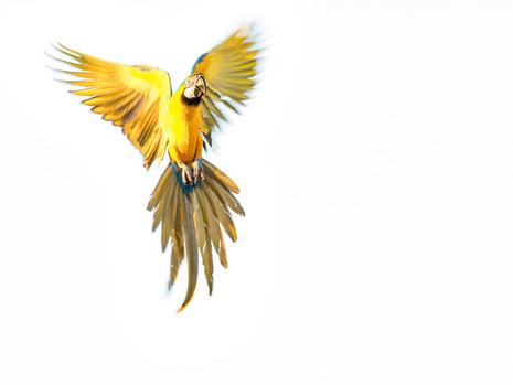 Goldbrust-Ara