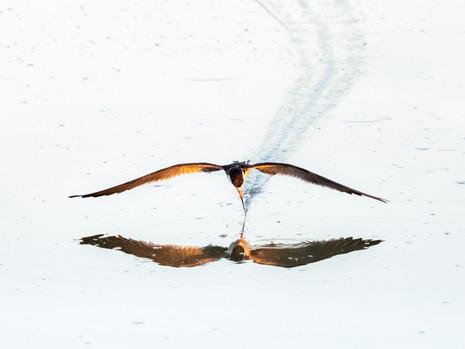 Skimmer beschwingt
