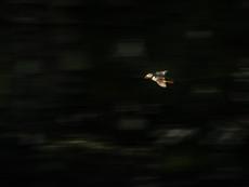 papageientaucher - Nachtflug