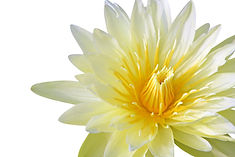 bigstock-Yellow-water-lily-isolated-on--