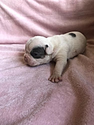 Availabe Unique French Bulldog Puppy