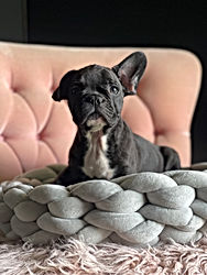 Availabe Unique French Bulldog Puppy