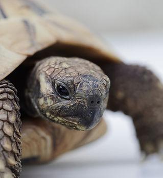 greek-tortoise-3568941_1920.jpg