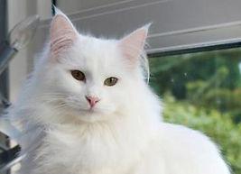 femelle  norvégienne blanche