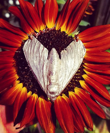 _Moth on a Sunflower_ I'm in Noblesville