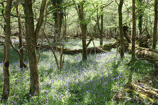 Bluebells in woodland.jpg