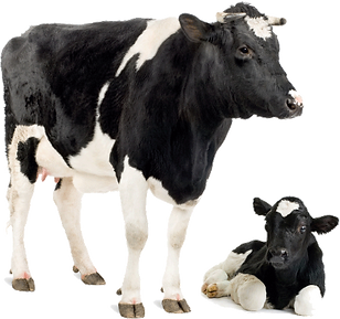 transparent-holstein-friesian-cattle-jer
