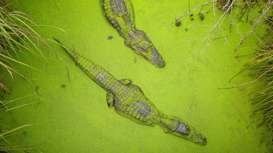 WEB18-WeatherClimate-Wetlands-Alligators