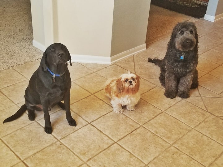 Dog Trainig Basic Obedience Service Dogs