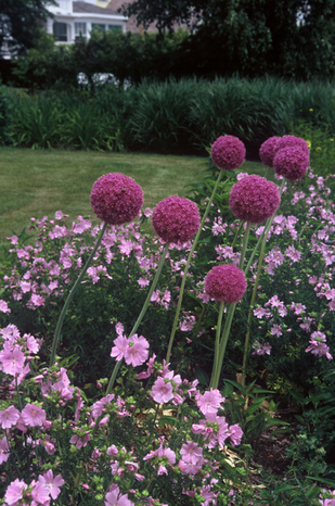 Allium Pop