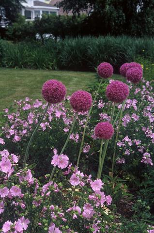 Allium Pop