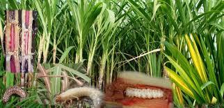 Ganna ke rog | sugarcane insects