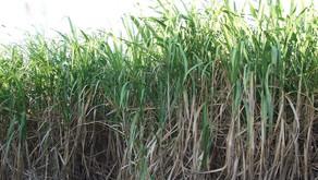 Ganna Ki Kheti की खेती कैसे करे,वैज्ञानिक विधि द्वारा